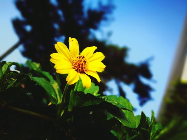 Yellow Flower Nature Yellow Flower Nature Petal Flower Head Fragility Growth Beauty In Nature Freshness Plant Close-up Blooming Blossom Pollen Outdoors No People Day