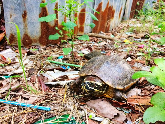 turtle in garden Dry Leaf Dry Leaves Metal Fence Fence Plant Animal Garden Turtle Leaves Leaf Day No People Outdoors Nature Animals In The Wild Plant Grass Animal Themes Close-up