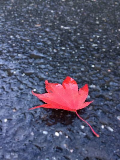 Red Depth Of Field Close-up Outdoors High Angle View Leaf Maple Leaf Peace And Quiet Asphalt Asphaltography Beautiful Road Focused Photo Early Morning Norway No People Simplicity Is Beauty. Happy Startofmyday Photo