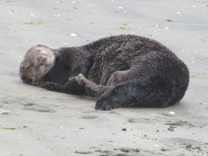 Sheep lying on the beach