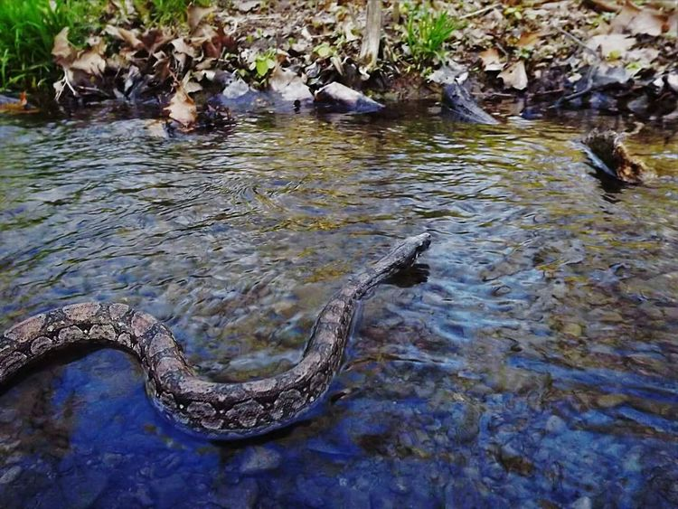 Zoology Domestic Animals Snake Blade Of Grass Water Argentine Boa Argentine Snakesofinstagram Nature Grassy Stream Brook Creak Swimming Snakes Of Eyeem Snakes Are Beautiful Snake!!  Snakelover  Animal Themes One Animal Idyllic Green Color Eyemphotography Plant Rural Scene