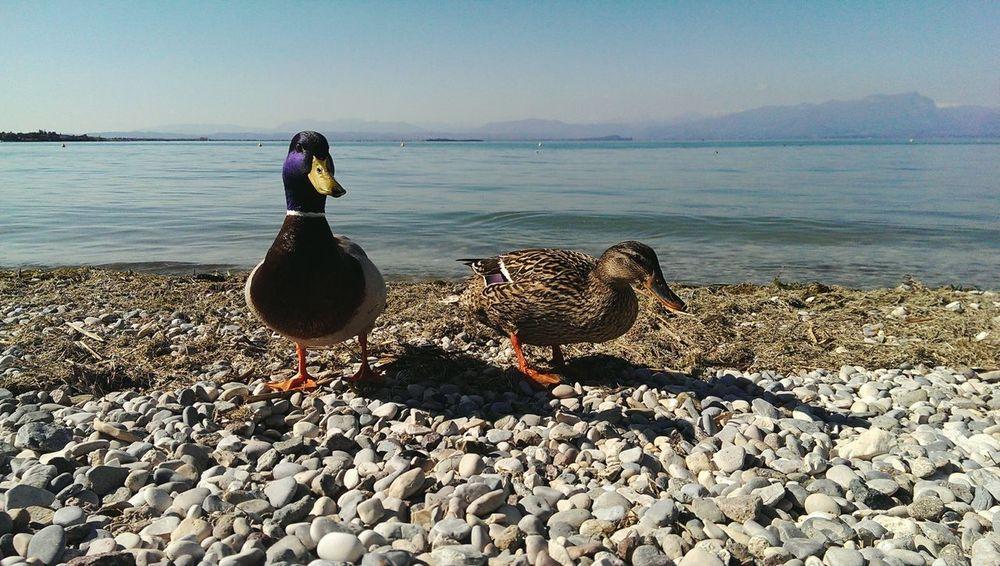 PeschieraDelGarda Ducks Duck Anatre