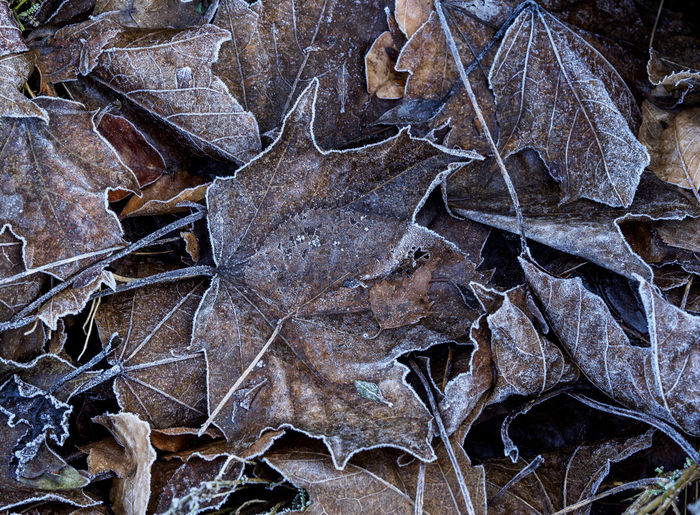 decaying leaves covered in frost after a cold night Abstract Backgrounds Beauty In Nature Cold Decay Freshness Frost Leaf Leaves Nature Outdoors
