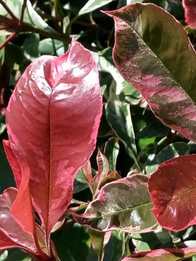 nature thème 🌿🐧 Nature Themes Nature Beauty In Nature Leaf Red Green Color Double Colors