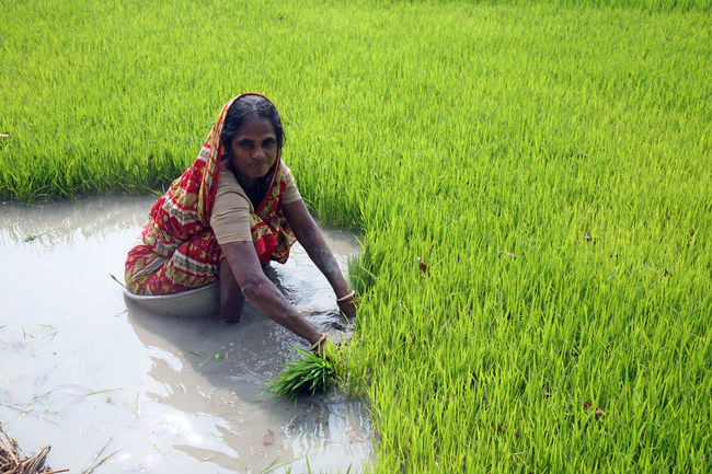 Rural women working in rice plantation in Bosonti, West Bengal, India Agriculture ASIA Bosonti Cereal Countryside Farm Field Food Green Color Growth India Meadow Nature Paddy Palm Person Plant Rice Rural Tree Tropical Water West Bengal Wet Women
