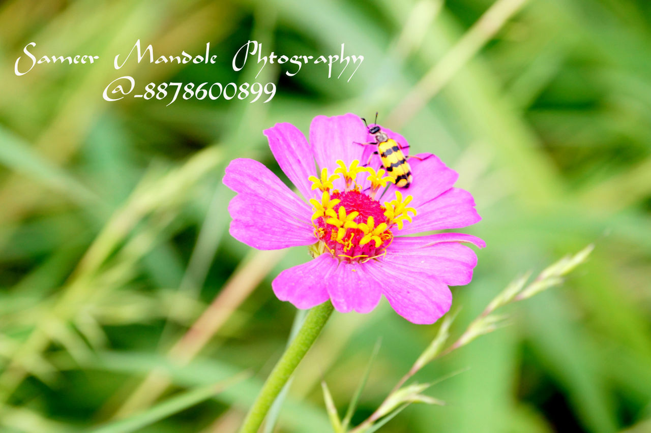 flower, fragility, nature, beauty in nature, growth, petal, no people, freshness, flower head, close-up, outdoors, plant, focus on foreground, day, green color, pink color, blooming