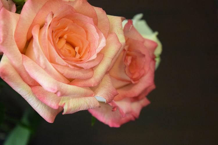 Two pink roses bloom Blooming Blossom Botany Close-up Elégance Flower Flower Head Fragility Freshness Petal Pink Pink Color Road Romance, Love, Concept,spring, Summer Rosé Rose - Flower Softness We