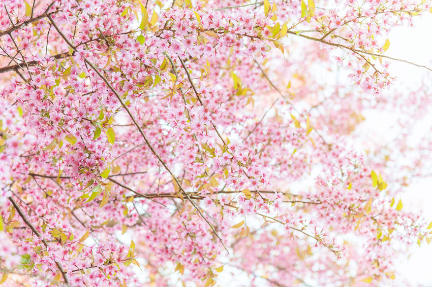 Japan Sakura Thailand Beauty In Nature Blossom Branch Cherry Blossom Cherry Tree Close-up Flower Flower Head Flowering Plant Fragility Freshness Growth Low Angle View Nature Outdoors Pink Color Plant Plum Blossom Softness Spring Springtime Tree