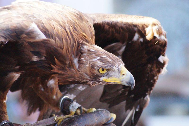 Close-Up Of Alert Golden Eagle