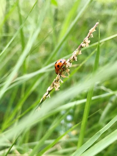 One Animal Animals In The Wild Insect Animal Themes Nature Green Color Plant Insect In The Garden IPhoneography Ladybug🐞 Growth Day No People Outdoors Focus On Foreground Animal Wildlife Close-up Ladybug Grass Leaf Beauty In Nature