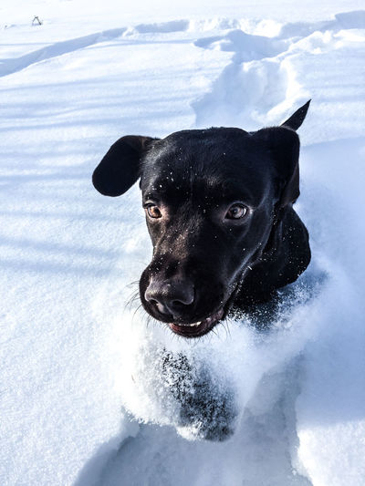Portrait of black dog in snow