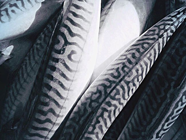 Mackerel stripes freshly caught High Angle View No People Full Frame Close-up Indoors  Day Backgrounds fish Mackerel Fish Mudeford UK