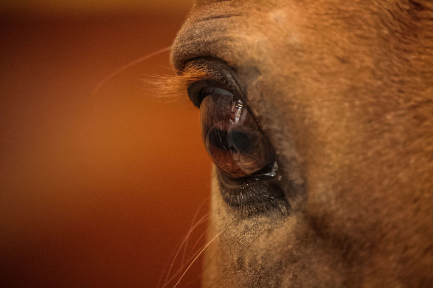 Orange Red Animal Head  Close-up Day Detail Domestic Animals Horse Horse Eye Nature No People One Animal