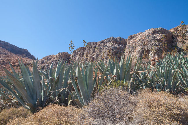 Gramvousa island in Crete Crete Greece Crete Island Agave Agave Fields Agave Plant Agaves Beauty In Nature Crete Gramvousa Growth Nature Plant Scenics