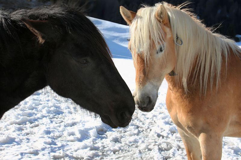 Mountain farm in Vals - Animal Body Part Animal Head  Animal Themes Domestic Animals Focus On Foreground Herbivorous Horse Mammal Nature Two Animals White Color Working Animal