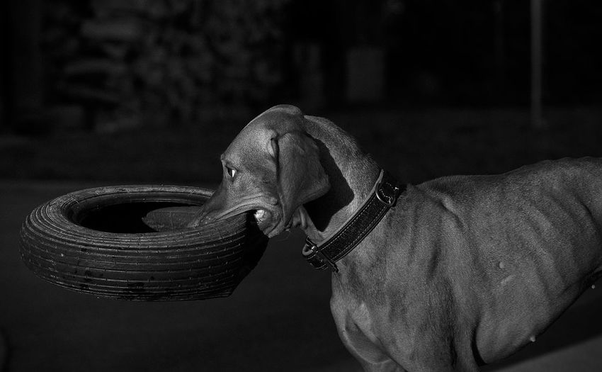 Side view of dog holding vehicle tire in mouth at darkroom