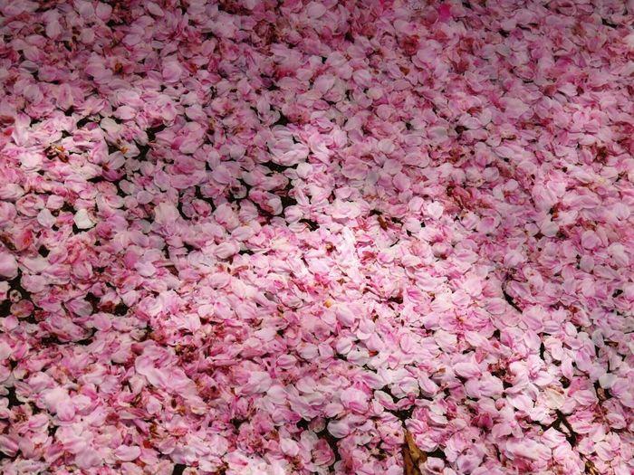 Sakura Sakura2016 Sakura Blossom Sakura Trees Cherry Blossoms Cherry Blossom 桜 桜の花びら 桜の絨毯