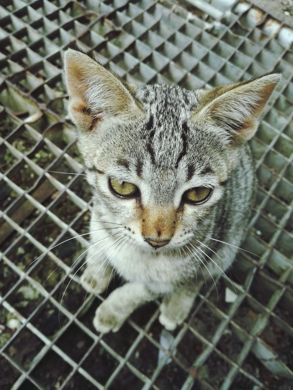 domestic cat, animal themes, one animal, domestic animals, pets, feline, cat, mammal, looking at camera, portrait, no people, day, close-up, cage, outdoors