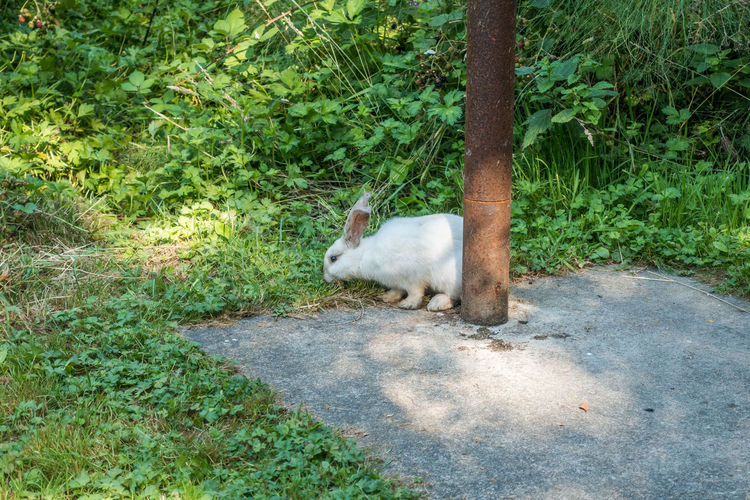 A white rabbit feeds by a pole at Dash Point State Park in Washington State. Rabbits Animal Animal Themes Animal Wildlife Animals In The Wild Dash Point Day Domestic Domestic Cat Green Color Land Mammal Nature No People One Animal Outdoors Plant Tree