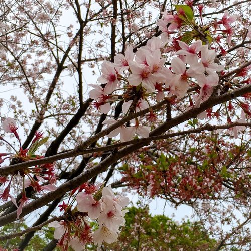 Showcase April Sakura Cherry Blossoms Tokyo Nature Nature_collection Check This Out EyeEm Best Shots Eye4photography  PhonePhotography Holiday Traveling Enjoying Life EyeEm Nature Lover EyeEm Flower