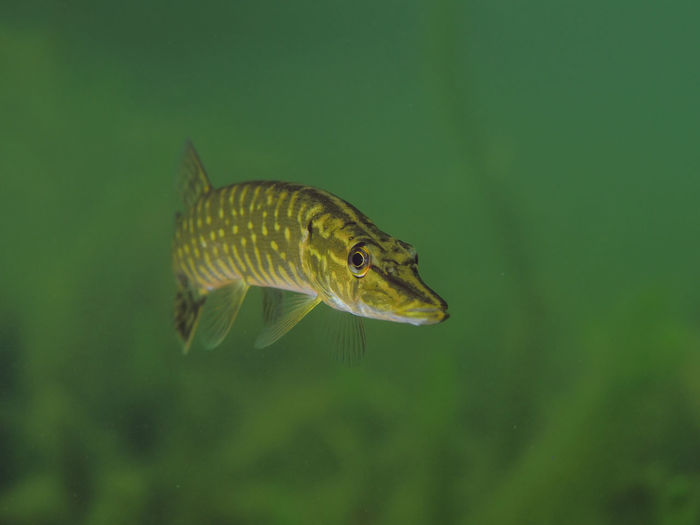 Junger Hecht in Ammelshain Transparent Nature Close-up No People Marine Underwater Water Swimming Fish Animal Wildlife Vertebrate Animals In The Wild One Animal Animal Animal Themes Stone Quarry Stone Quarry Pit Lake Freshwater Bird Hecht Esox Lucius Esox Pike Northern Pike EyeEmNewHere Profile View UnderSea