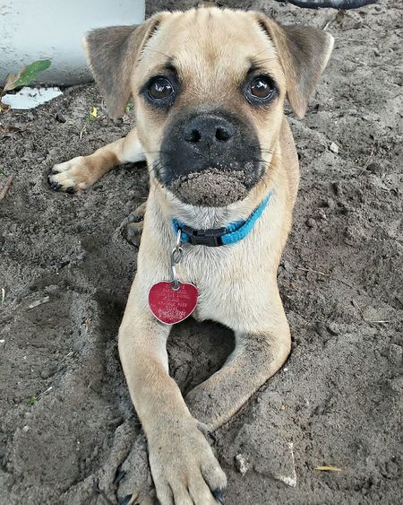 Hanging Out Taking Photos Check This Out Relaxing Enjoying Life Adorable Dog Life Mans Best Friend Chihuahua Pug Puppy Dog Portrait Summer Time  Sand Dirty Dog Dirt