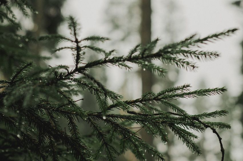 Growth Nature Plant No People Close-up Day Tree Branch Outdoors Beauty In Nature Christmas Tree Green Branches Nature Dew Dew Drops Christmas Decoration Early Morning Christmastime Forest Wild Wilderness