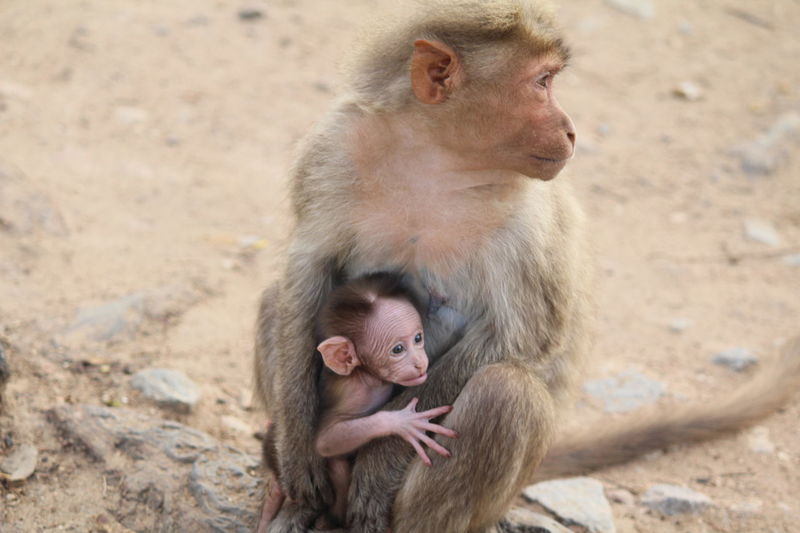 Animal Themes Baby Monkey Day Mammal Mom And Baby Monkey New Born New Born Animal No People Outdoors