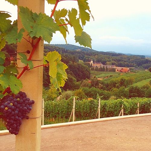 Beautiful Grapes Vineyard Vine Nature Landscape Wanderlust Summer Slovenia