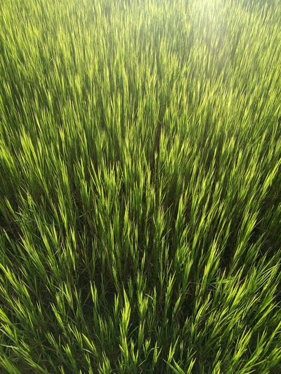 Sunset Backgrounds Full Frame Grass Close-up Green Color Growing Plant Life Green Blade Of Grass Plant