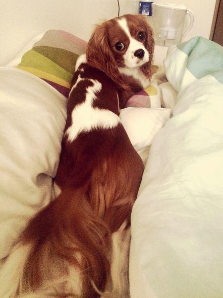 Relaxing Cavalier King Charles Spaniel Cavlife Bestfriend Cute Burgunde Cute Pets Dog Ilovemydog Enjoying Life Long