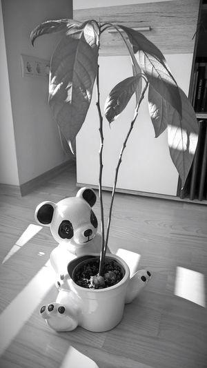 Green Leaves Avocado Plant Avocado Tree Black & White Black And White Day Panda Panda Pot Plant Plant Shadow Still Life Sunlight Sunlight And Shadow Sunlight, Shades And Shadows