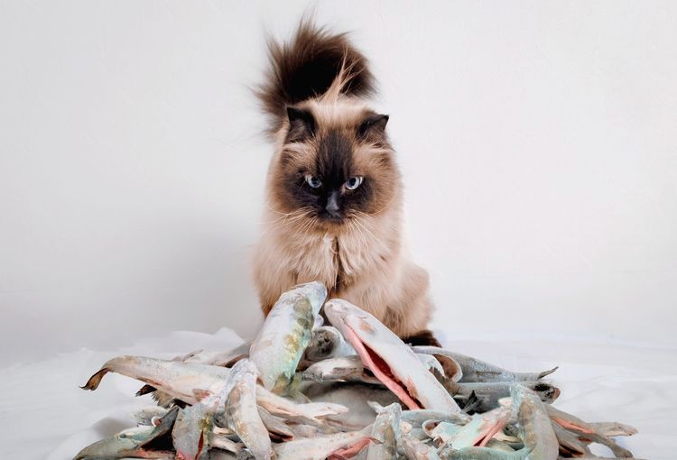 - NEXT? - The Still Life Photographer - 2018 EyeEm Awards The Creative - 2018 EyeEm Awards EyeEm Best Shots Check This Out! Fish One Animal Animal Themes Mammal Animal Pets Domestic Domestic Animals Vertebrate No People Indoors  Looking At Camera Portrait Sitting Cat Looking Feline Domestic Cat Close-up