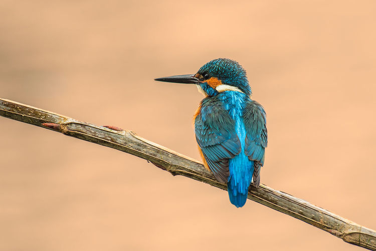 Kingfisher Martín Pescador Bird Animal Wildlife Animal Themes Vertebrate Animals In The Wild Animal Perching One Animal No People Branch Focus On Foreground Beak Nature Looking Beauty In Nature Day Stick - Plant Part