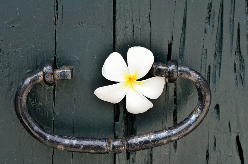 Plumeria Beauty In Nature Black Door Close-up Door Flower Flower Head Frangipani Freshness Iron Door Handle No People Outdoors White Color White Flower Wood - Material Wood Door