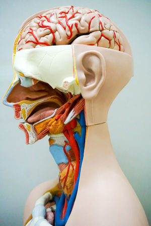 Head of human anatomy model Body & Fitness Healthcare Science Anatomical Anatomy Blooming Brain Circulatory Sistem Close-up Education Human Human Representation Inside Internal Medical Model Muscle Organ People Statue Stitch System Transplant