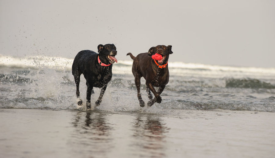 Labrador Retriever dogs Action Action Shot  Animal Themes Beach Black Labrador Chocolate Lab Day Dog Domestic Animals Lab Labrador Retriever Landscape Mammal Motion Nature No People Outdoors Pets Retriever Running Sea Splashing Toy Two Dogs Water