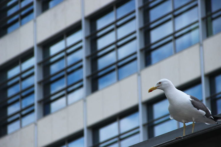 Low Angle View Of Seagull Against Building