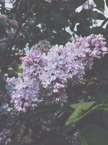 Loving these lilacs First Eyeem Photo