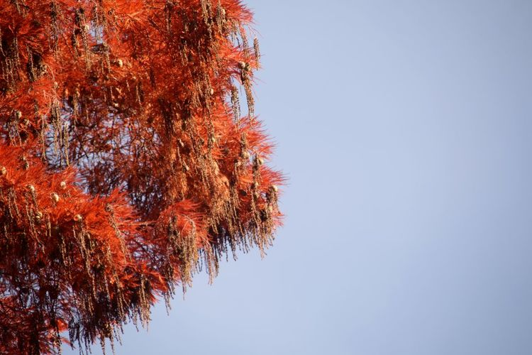 Larch Conifer  Red Larch Needles Blue Sky Tree Clear Sky Autumn Red Change Sky Close-up Single Tree