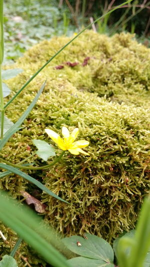 Fleur Fleurs Fleur ♡ Nature Printemps Beauty Nature Beauty In Nature Jaune Jaune🌻 Yellow Flower Yellow Foret Leaf Flower Close-up Grass Plant Green Color