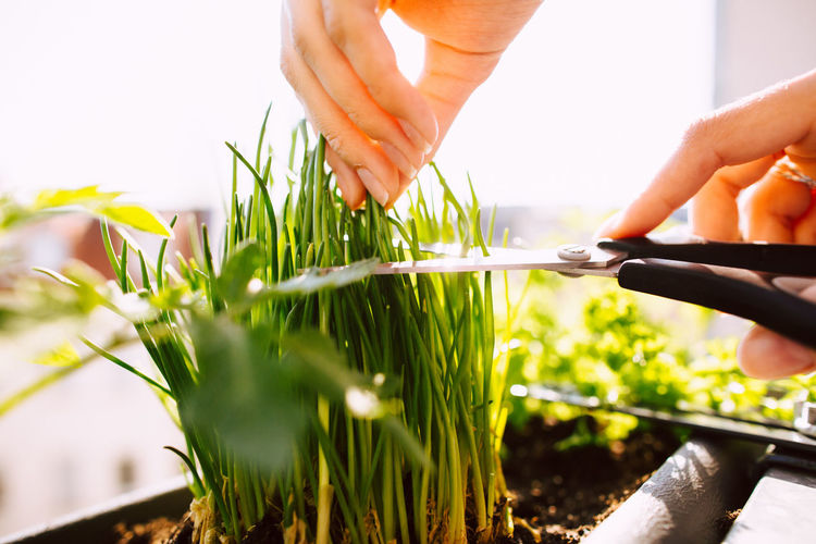 Young woman cutting fresh chives with a scissor Chive Freshness Gardening Green Hands Herbs Natural Scissors Sunny Vegetarian Vegetarian Food Woman Balcony Chives Healthy Healthy Eating Healthy Lifestyle Organic Outdoors Outside Spring Springtime Summer Sun Vegetable