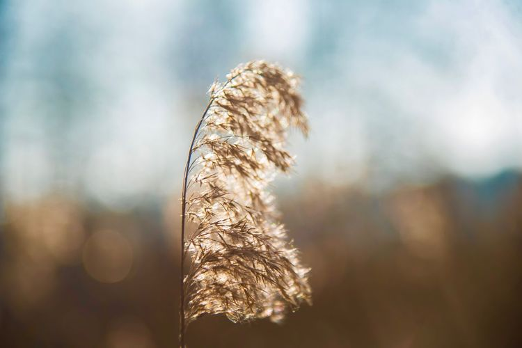 Fluffy Grass Warm Light Warm Close-up Focus On Foreground Beauty In Nature Day Plant Nature No People Fragility Sunlight Sky Outdoors Growth Brown