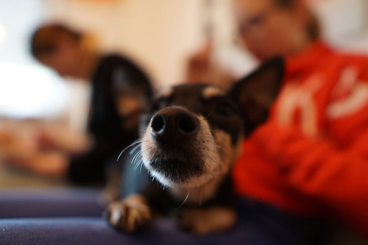 close-up of dog relaxing at home Domestic Animals Domestic Pets Mammal Canine Dog One Animal Focus On Foreground Close-up Indoors  Domestic Room Selective Focus People Small Portrait Lap Dog Animal Body Part Pet Owner