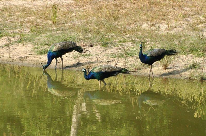 Bird Animals In The Wild Reflection No People India Indian Bandhavgarh National Park Bandhavgarh Peacock Your Ticket To Europe