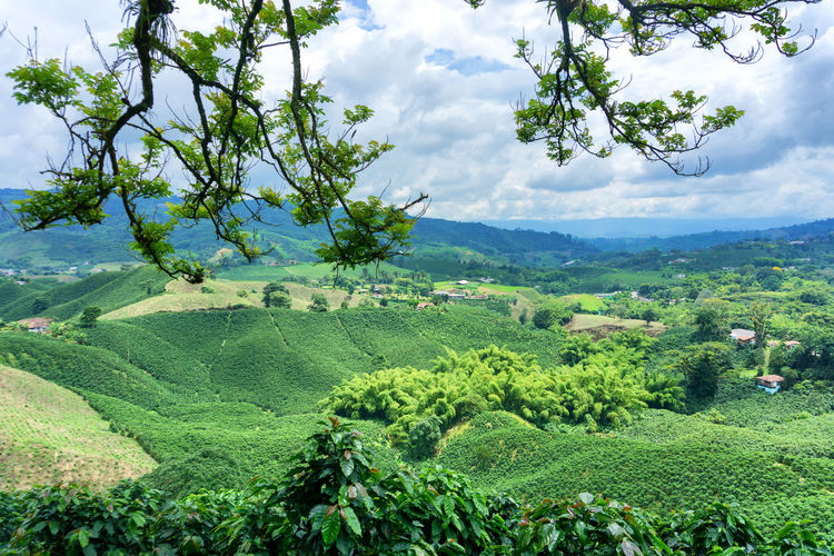 Scenic view of coffee farm against cloudy sky