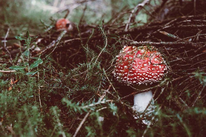 Memorie estive Mushroom Red Forest Beauty In Nature The Week On Eyem The Week Of Eyeem