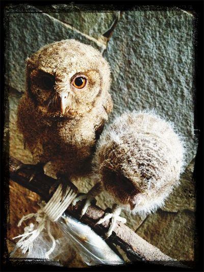 Cute Pets my javan scoop owl