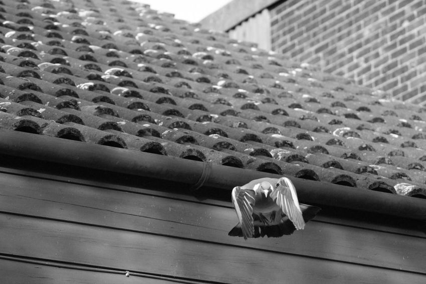 Pigeon Black & White