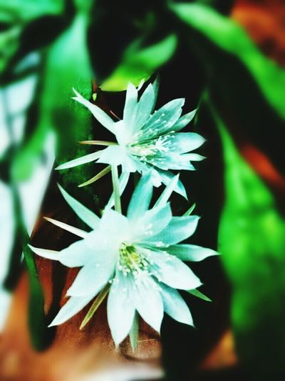 Vijayakusuma Flower Nature Fragility Plant Close-up Growth Beauty In Nature Green Color Flower Head Freshness Leaf Day Outdoors No People